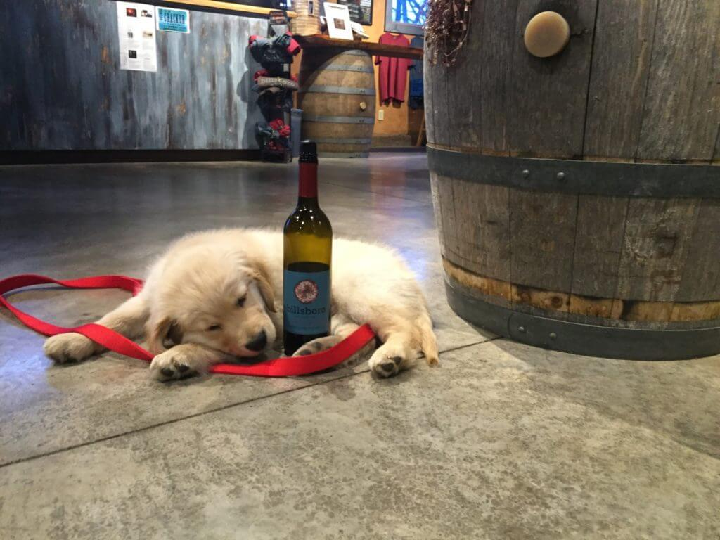 A golden retriever puppy laying with a bottle of Billsboro red wine.